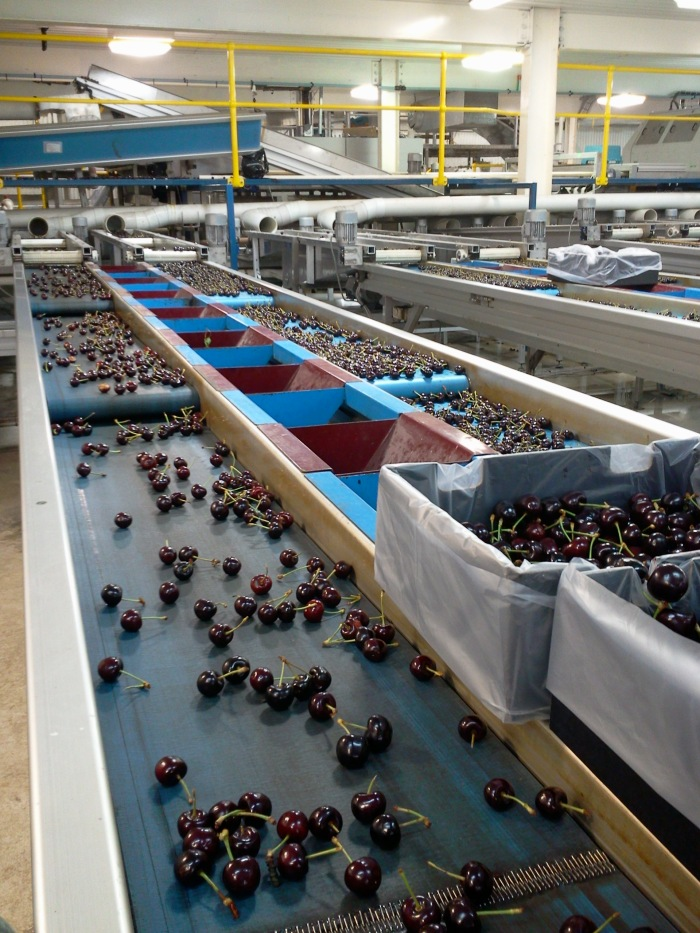 Cherries are rolling over the belts