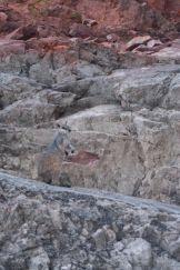 A rockwallaby