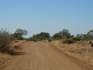 Warthogs crossing the street