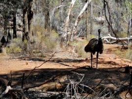 An emu in the bush
