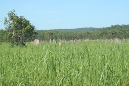 The magnetic termite mounds, a bit hard to see in the lush green grass