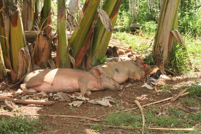 Arriving at the national park. Pigs lazing in front of the house.