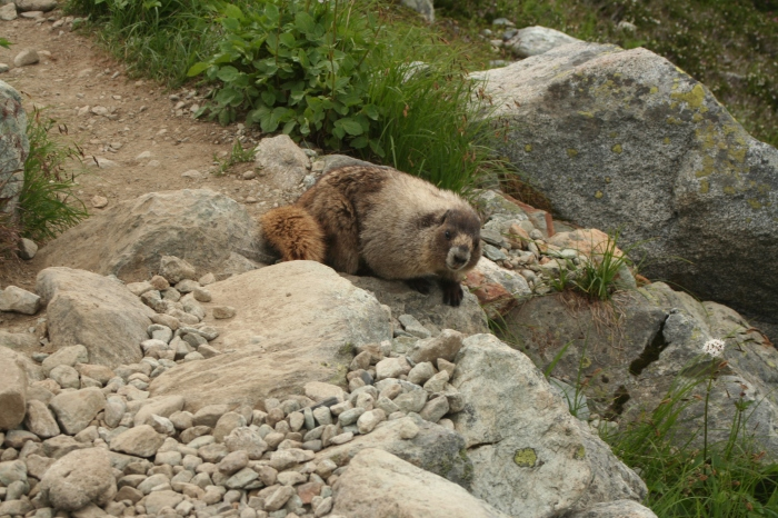 A marmot on my path.