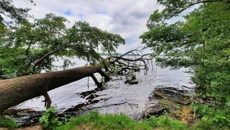 fallen tree in the Seddinsee